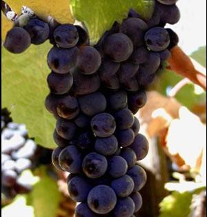 grapeblack
